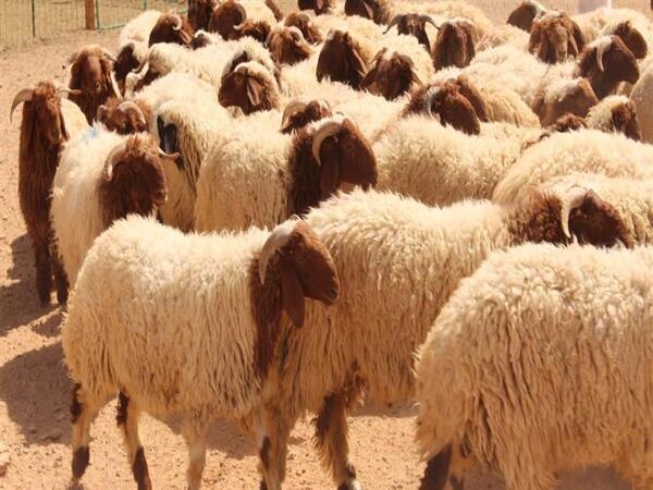 أسعار خروف العيد 2019